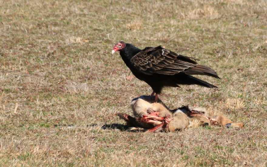 Turkey Vulture with Meal