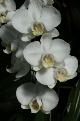 White Orchid, Longwood Gardens