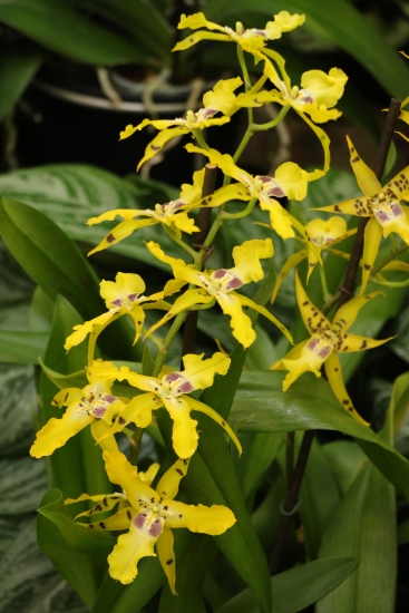 Yellow Orchid, Longwood Gardens, Orchid Extravaganza