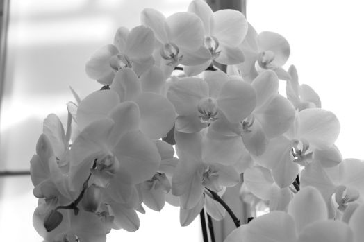 Black and White Translucent Orchids, Longwood Gardens, Orchid Extravaganza