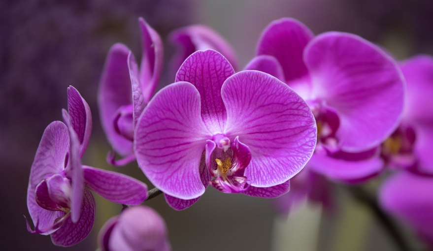 Purple Orchid shot at the 2017 Philadelphia Flower Shower.