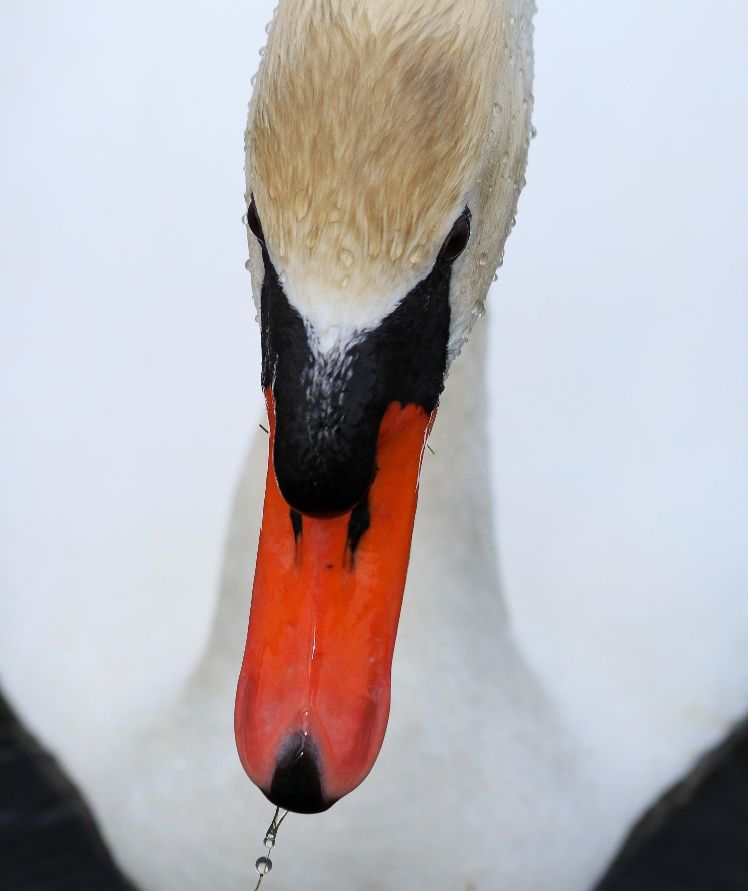 Wet Swan