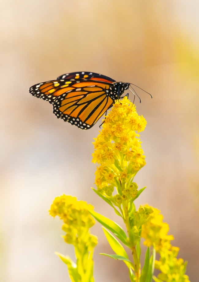 Monarch Butterfly seaside goldenrod