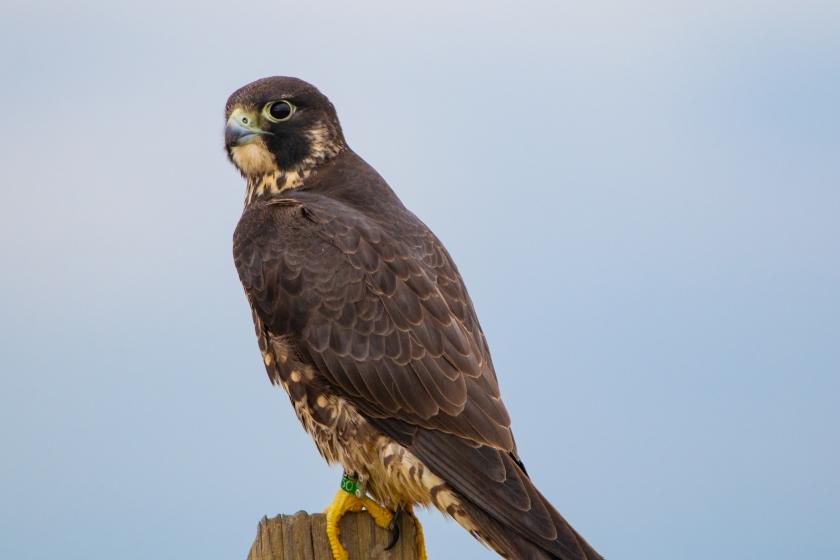 migrating hawk