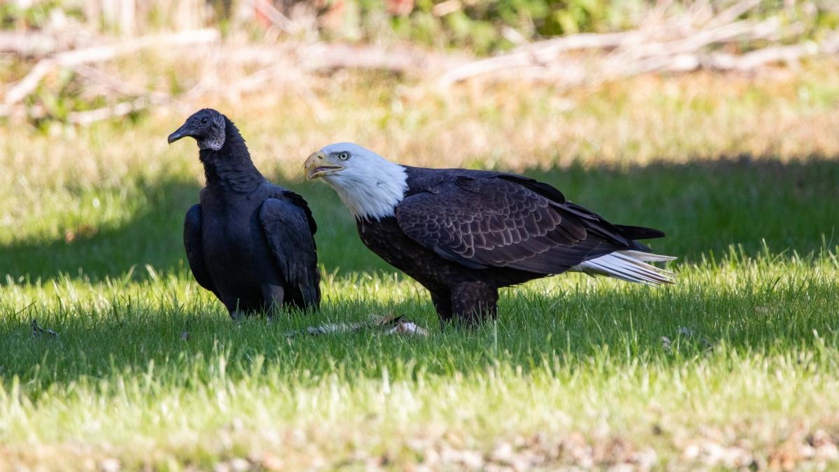 Bald Eagle Turkey Vulture